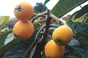 Mispel geteeld door biologische producent Bosque Tropical