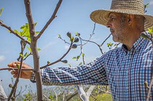 Biologische boer Francisco Sedeño inspecteert een vijgenboom