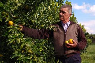 Biologische citrusproducent Paco Bedoya die citroenen plukt
