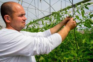 Organic farmer Ruben Ayala inspecting tomato plants