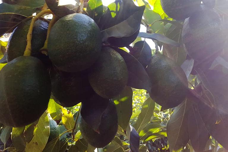 Organic avocado producer Jose Miguel Castilla