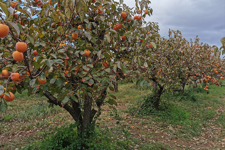 Organic persimmon producer Maria Dolores Climent