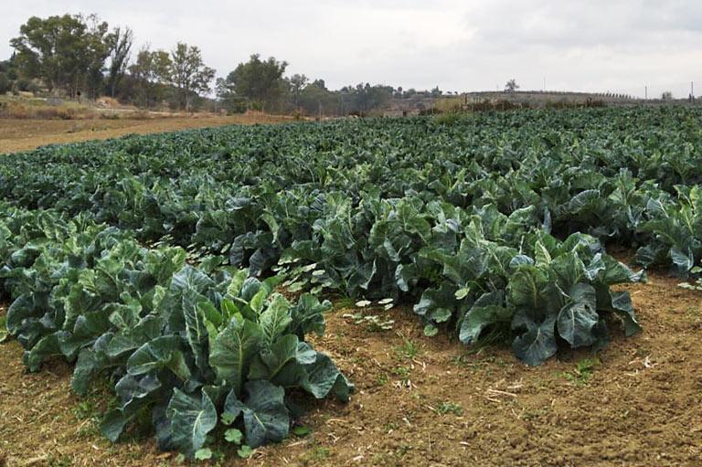 Organic cauliflower producer Rafael Robles